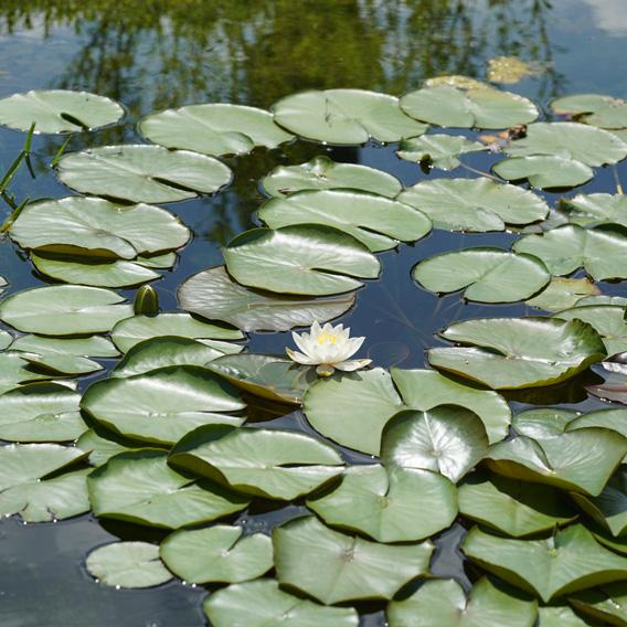 Seerosen auf Teich