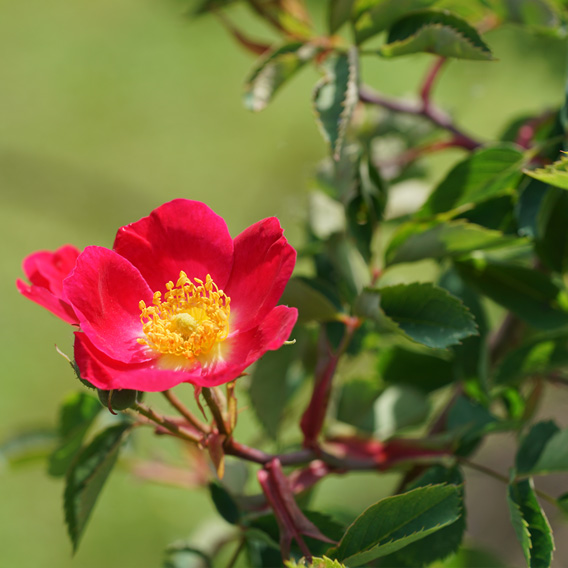 Rote wildrose